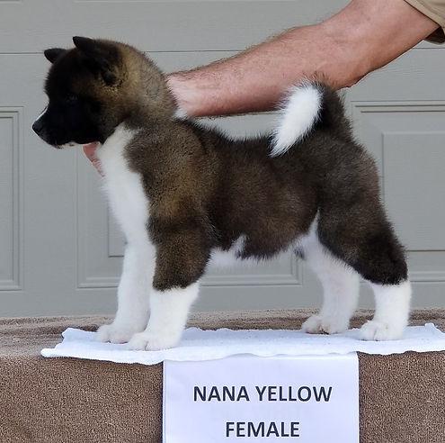 Nana Yellow Dazzle.jpg