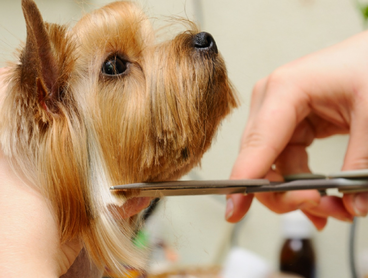Pet Grooming Haircut