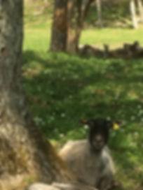 Peekabo sheep