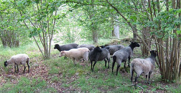 Forest_Sheep_edited.jpg