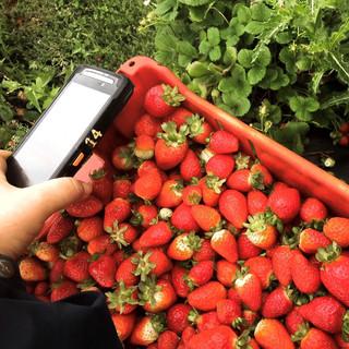 strawberry scan.jpg