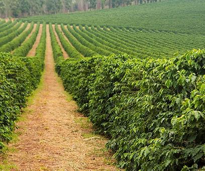 coffee farm web.jpg