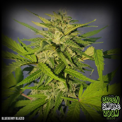 BLUEBERRY BLAZED FEMINISED SEEDS