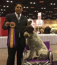 """Lucas"" Neudorf's Cool Hand Luke Afterhours winning Best Of Breed at the first Suncoast GWP Specality"