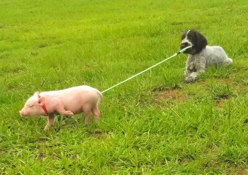 Green showing the pig how its done!