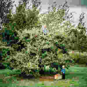 Two kids playing in an apple tree.