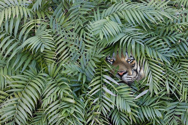 Tiger in Jungle.jpeg