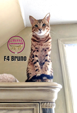 F4 savannah cat