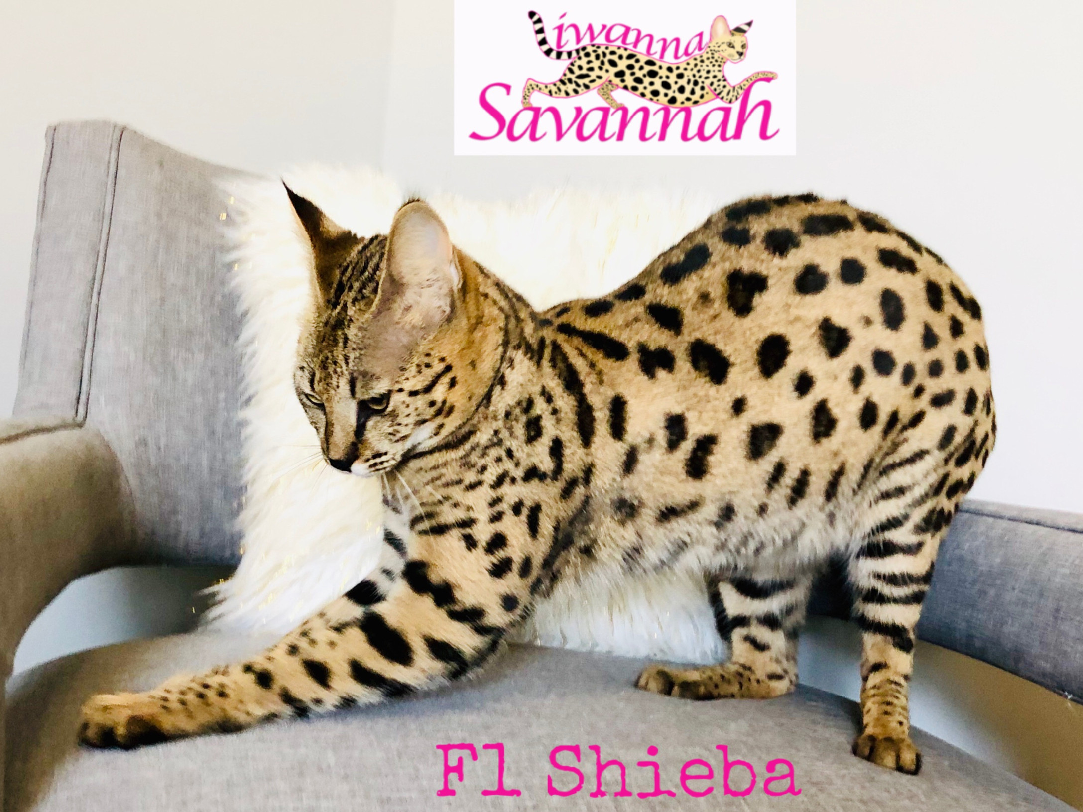 Available savannah kittens|f2 savannahs|Iwanna Savannah