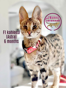 f1 savannah cat