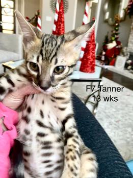 F6 savannah cat