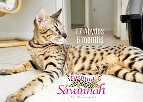 f6 f7 savannah cat