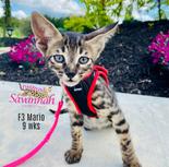 F3 Savannah cat