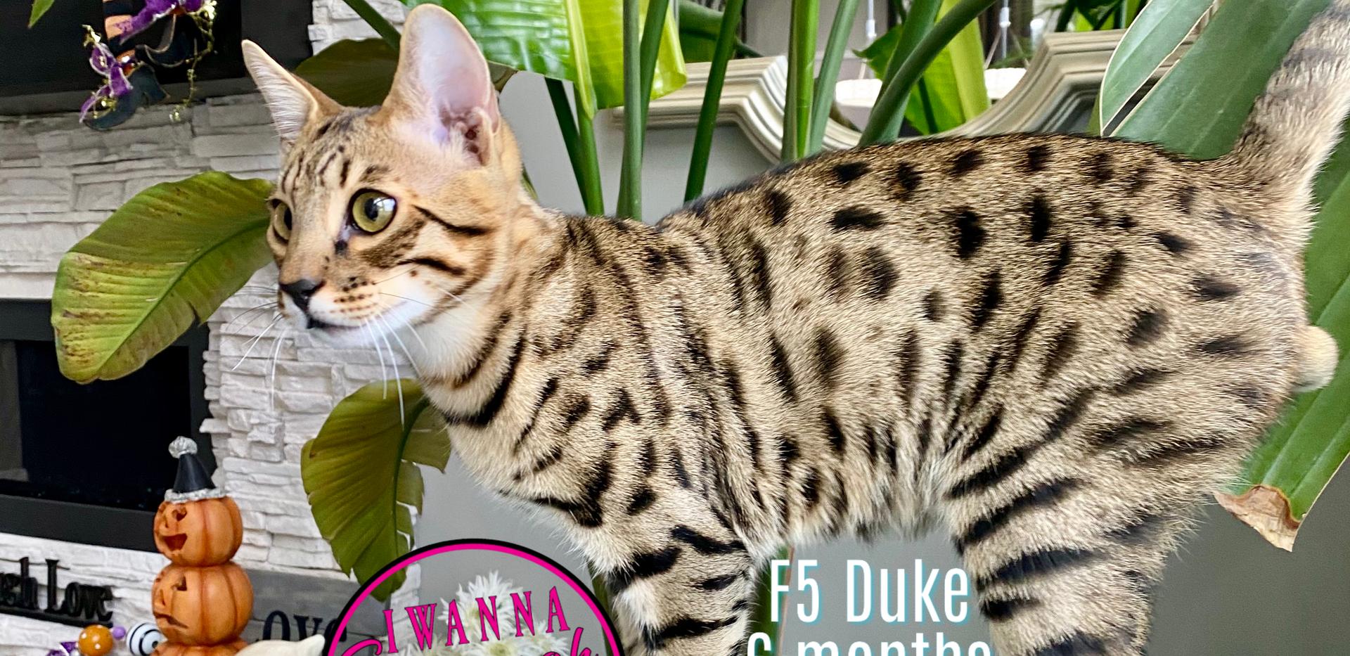 Iwanna Savannah F5 Duke