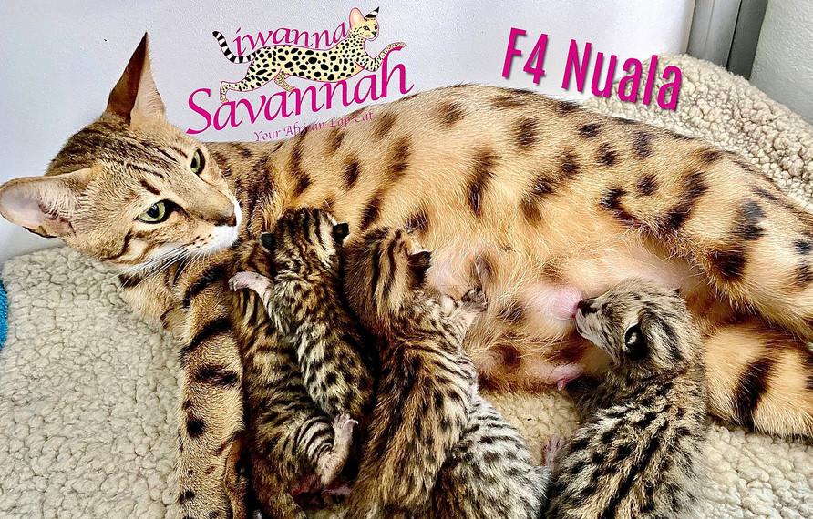 F4 savannah Nuala