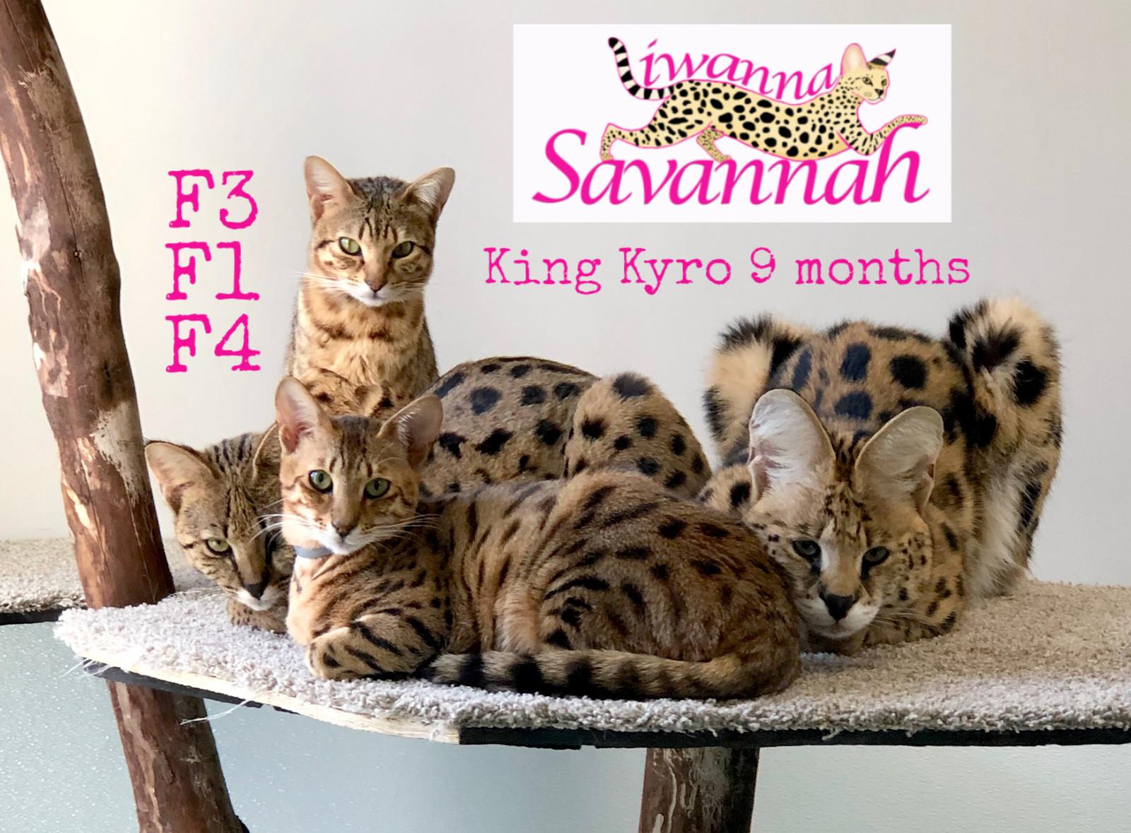 Available savannah kittens|KS|Iwanna Savannah