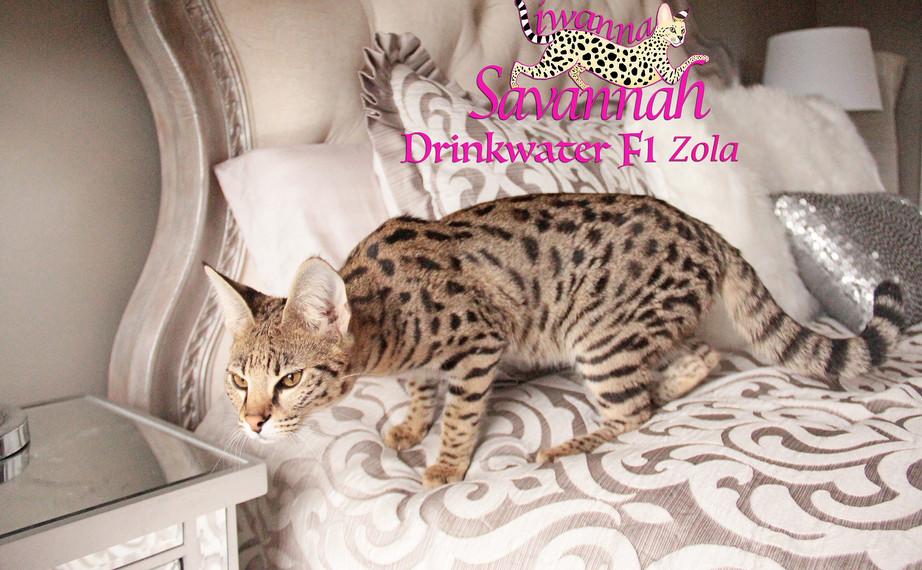 F1 savannah cat