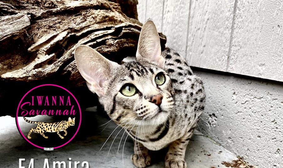 f4 savannah cat