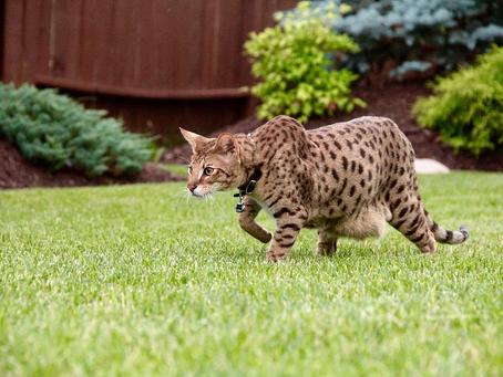 How Big Do Savannah Cats Get?