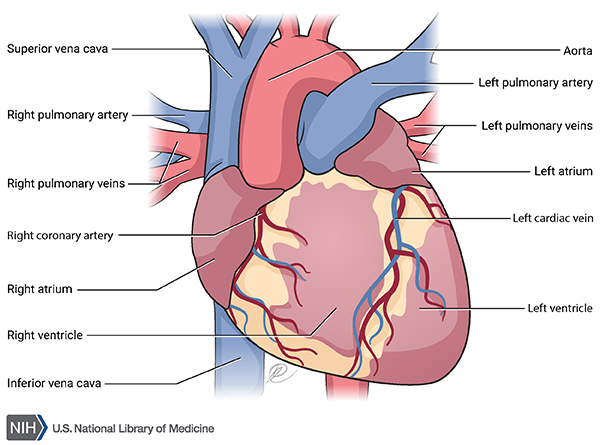 Heart - Closed View