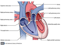 Heart - Open View