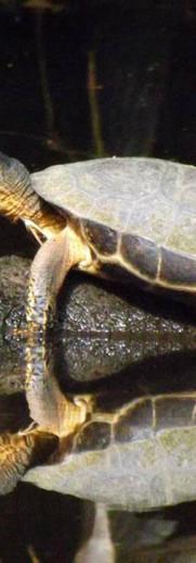 Costa Rican River Turtle