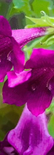 Hybrid Petunia