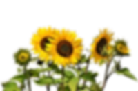 sunflower-2914972_1920.png