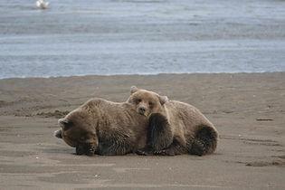 Bucks Brown Bear Lake Clark.JPG