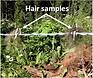 Bear hair sample.png