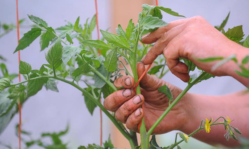tomato fingers