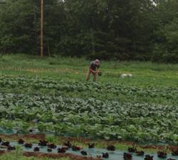 HarvestingKale