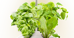 Get green thumb without soil:Hydroponics