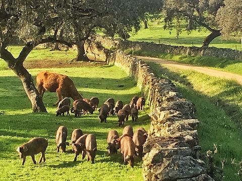 Iberico-Schweine an der Via de la Plata