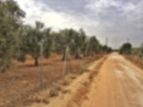 Oliven, Oliven