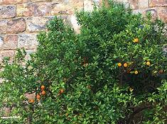 Sevilla, Orangenbaum