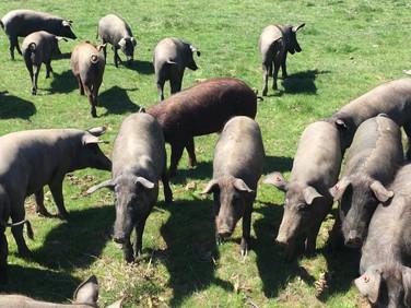Die neugierigen Schwarzfußschweine