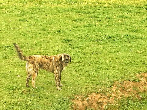 Herdenhund in der Extremadura