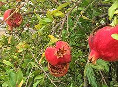 Granatäpfel al Futterstationen für die wenigen Vögel