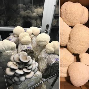 Dunks Mushrooms Danville NH Lions Mane Mushrooms NH Farm Connection