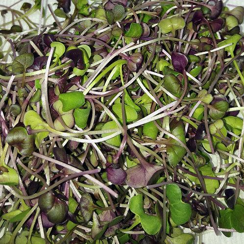 Radish Blend Microgreens