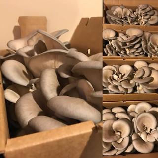 Dunks Mushrooms Danville NH Blue Oyster Mushrooms NH Farm Connection