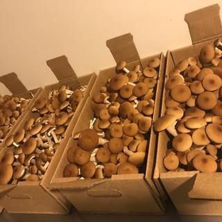 Dunks Mushrooms Danville NH Pioppino Mushrooms NH Farm Connection