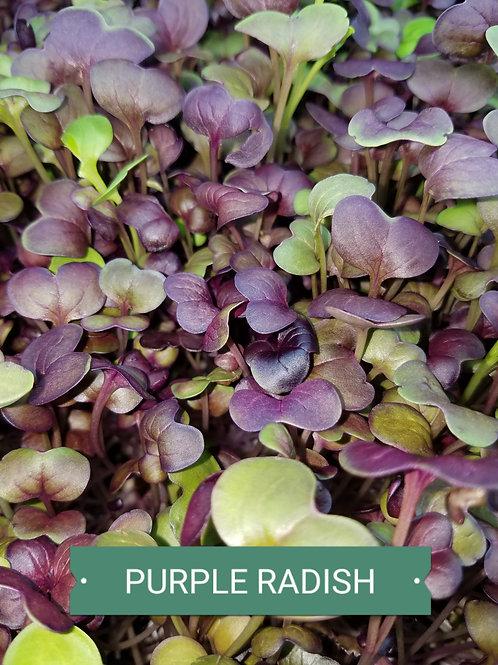 Radish - Purple Sango Microgreens
