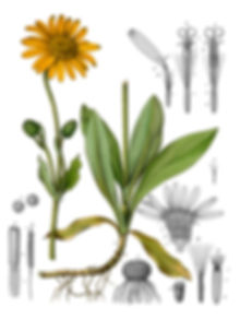 arnica-montana-002.jpg