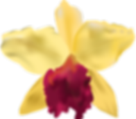 Yellow Cattleya Orchid Pic.png