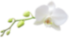 White Phalaenopsis Orchid Pic.png