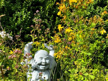 Johannesört - den gula lilla blomman som gör dig glad