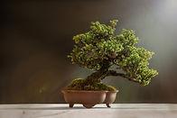 bonsai-6114252_1920.jpg
