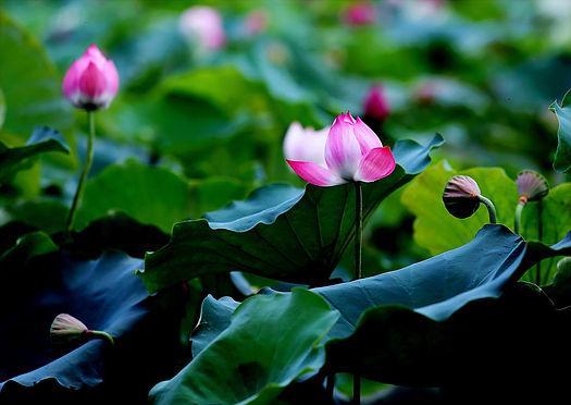Lotus 8.jpg